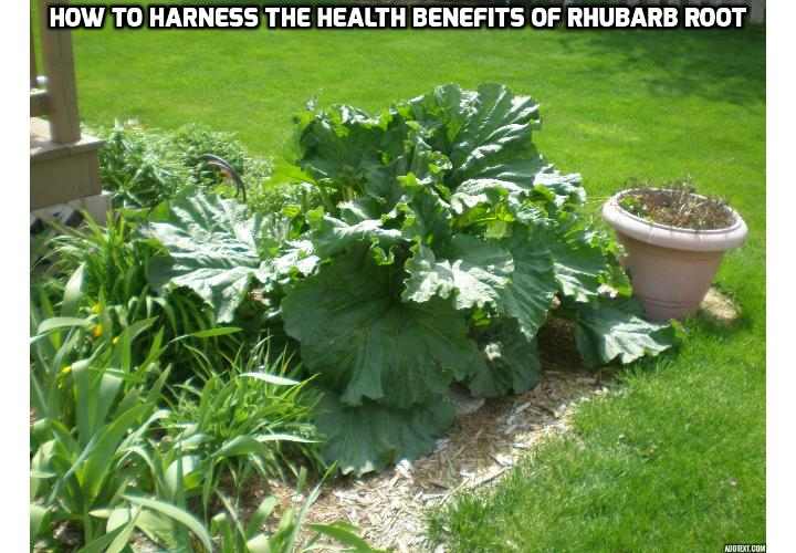 How to Harness the Health Benefits of Rhubarb Root - Read on to find out about the surprising health benefits of rhubarb root – anti-cancer, anti-diabetic, menopause relief, etc.